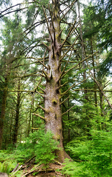 Can anyone identify this large tree near the Ft. Clatsop replica?
