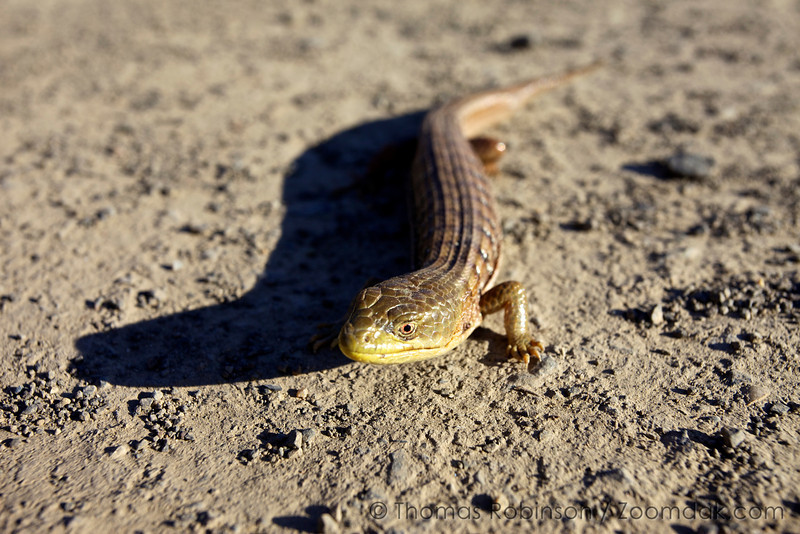 An important Oregon Alligator Lizard (Elgaria multicarinata scincicauda) attempts to camouflage as a stick at Coyote Wall along the Columbia River Gorge