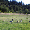 Canadian Geese at Bonneville Dam