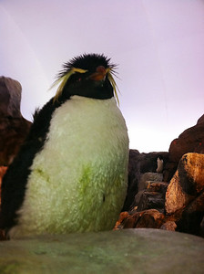 16 March 2011: A Rock Hopper penguin at the St. Louis Zoo!
