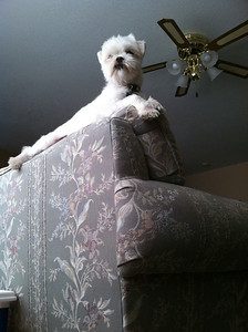 18 March 2011: My sister's dog, Wickett, perched atop the couch. The better to see out the window.