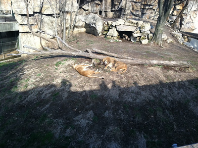 16 March 2011: Lions at the St. Louis Zoo.
