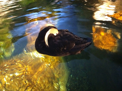 16 March 2011: A puffin at the St. Louis Zoo.