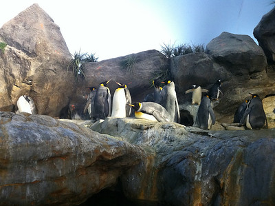 16 March 2011: King penguins at the St. Louis Zoo!