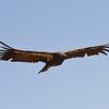 """Condor """"Nomad"""""""