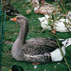 Goose - Seaport Shopping Village - Mystic, CT  9-8-99