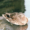 Female Mallard Duck - Seaport Shopping Village - Mystic, CT  9-8-99