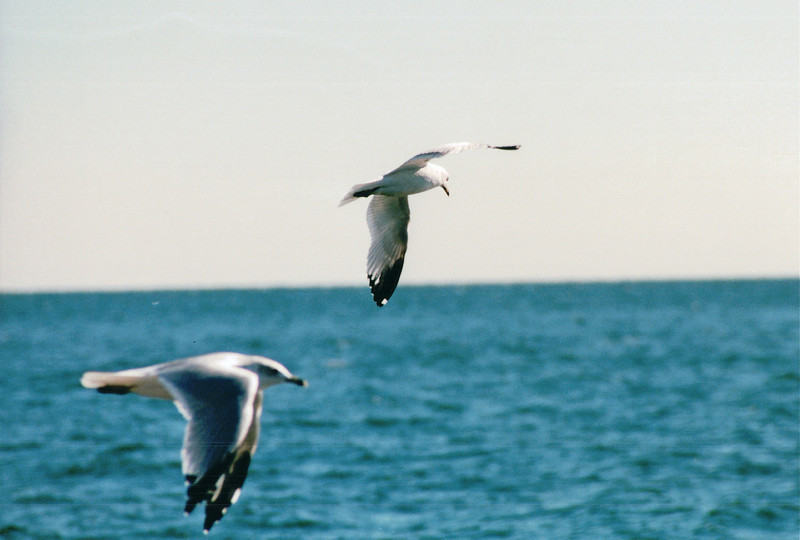 Seagulls in Flight - New Haven, CT  10-23-98