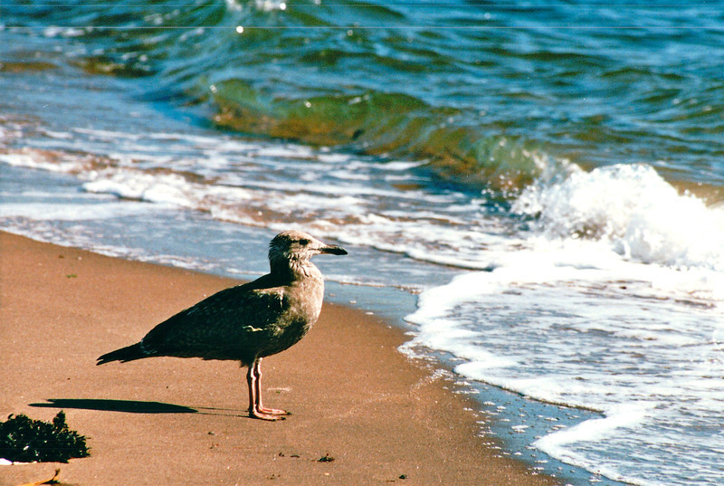 Juvenile Herring Gull - New Haven, CT  10-23-98