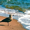 Juvenile Herring Gull - New Haven, CT  10-23-98