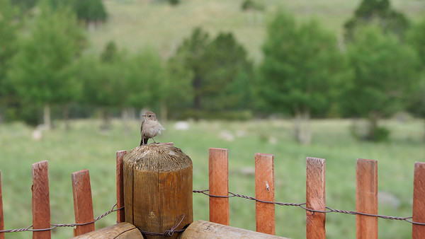 Wren on fencepost at Wilkerson Pass.