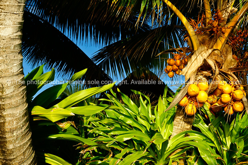 """A  lovely bunch of coconuts. Please preview book """"Cook Islands"""", above.  <a href=""""http://www.blurb.com/b/1907535-cook-islands"""">http://www.blurb.com/b/1907535-cook-islands</a>"""