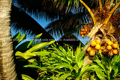 """A  lovely bunch of coconuts. Please preview book """"Cook Islands"""", above. www.blurb.com/b/1907535-cook-islands"""