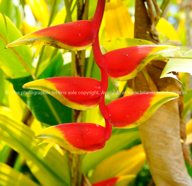 """Heliconia flower, bright colours, and characteristic of Cook Islands. Please preview book """"Cook Islands"""", above.  <a href=""""http://www.blurb.com/b/1907535-cook-islands"""">http://www.blurb.com/b/1907535-cook-islands</a>"""