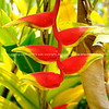 "Heliconia flower, bright colours, and characteristic of Cook Islands. Please preview book ""Cook Islands"", above.  <a href=""http://www.blurb.com/b/1907535-cook-islands"">http://www.blurb.com/b/1907535-cook-islands</a>"