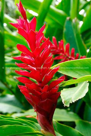 """Sights of the Cook Islands. Tropical paradise in the south Pacific. Alpinia flower, or tahitian ginger in bloom. Please preview book """"Cook Islands"""", above. www.blurb.com/b/1907535-cook-islands"""
