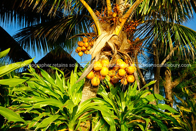 """Coconut Tree - Cocos nucifera. Yellow coconut.    The coconut is a member of the family Arecaceae (palm family). It is the only accepted species in the genus Cocos, and is a large palm, growing up to 30 m tall, with pinnate leaves 4–6... Please preview book """"Cook Islands"""", above. www.blurb.com/b/1907535-cook-islands"""