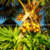 "Coconut Tree - Cocos nucifera. Yellow coconut.   <br /> The coconut is a member of the family Arecaceae (palm family). It is the only accepted species in the genus Cocos, and is a large palm, growing up to 30 m tall, with pinnate leaves 4–6... Please preview book ""Cook Islands"", above.  <a href=""http://www.blurb.com/b/1907535-cook-islands"">http://www.blurb.com/b/1907535-cook-islands</a>"