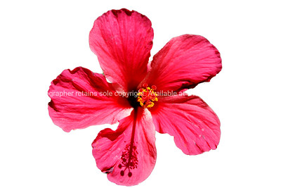 """Hibiscus, isolated red flower. Please preview book """"Cook Islands"""", above. www.blurb.com/b/1907535-cook-islands"""