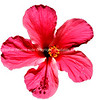 "Hibiscus, isolated red flower. Please preview book ""Cook Islands"", above.  <a href=""http://www.blurb.com/b/1907535-cook-islands"">http://www.blurb.com/b/1907535-cook-islands</a>"