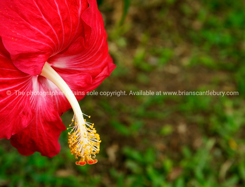 "Hibiscus flower, bright red, close up. Please preview book ""Cook Islands"", above.  <a href=""http://www.blurb.com/b/1907535-cook-islands"">http://www.blurb.com/b/1907535-cook-islands</a>"