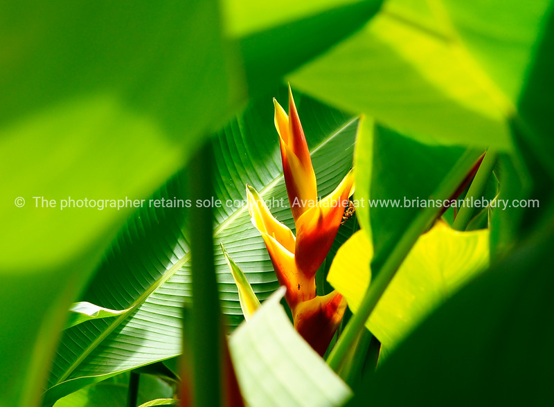 "Heliconia in the bushes. Please preview book ""Cook Islands"", above.  <a href=""http://www.blurb.com/b/1907535-cook-islands"">http://www.blurb.com/b/1907535-cook-islands</a>"
