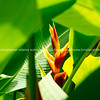 """Heliconia in the bushes. Please preview book """"Cook Islands"""", above.  <a href=""""http://www.blurb.com/b/1907535-cook-islands"""">http://www.blurb.com/b/1907535-cook-islands</a>"""
