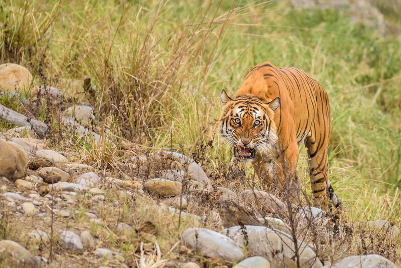 Tiger from Corbett, especially Dhikala is always special