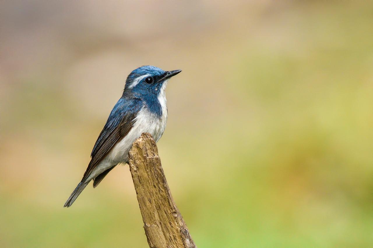 Ultramarine flycatcher ( male )