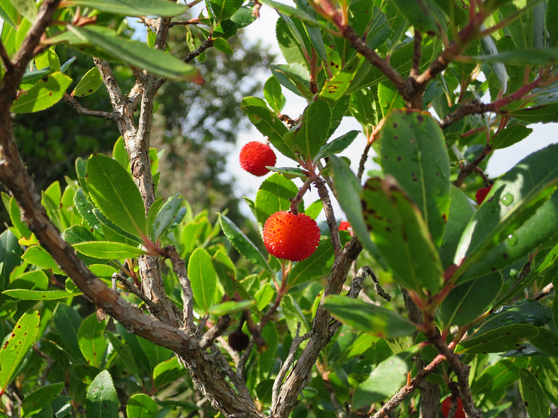 Aardbeiboom