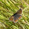Brown Argus, Aricia agestis from Corfu 648