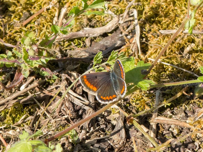 Brown Argus, Aricia agestis from Corfu 649