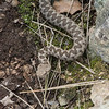 Nose-horned Viper, Vipera ammodytes from Corfu 1635