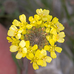 Brassica, Erysimum species from Corfu 1708