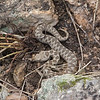 Nose-horned Viper, Vipera ammodytes from Corfu 1632