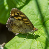 Speckled Wood, Pararge aegeria from Corfu 2056