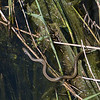 Grass Snake, Natrix natrix persa chasing Epirus Water Frog, Pelophylax epeiroticus from Corfu 1915
