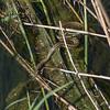 Grass Snake, Natrix natrix persa chasing Epirus Water Frog, Pelophylax epeiroticus from Corfu 1821