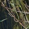 Grass Snake, Natrix natrix persa chasing Epirus Water Frog, Pelophylax epeiroticus from Corfu 1914