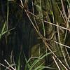 Grass Snake, Natrix natrix persa chasing Epirus Water Frog, Pelophylax epeiroticus from Corfu 1899