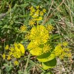 Euphorbia species from Corfu 2313