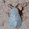 White Ermine, Spilosoma lubricipeda from Corfu 2414