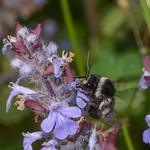 Bee, Thyreus species from Corfu 2564