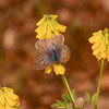 Lang's Short-tailed Blue, Leptotes pirithous from Corfu 2471-2