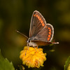 Brown Argus, Aricia agestis from Corfu 2458