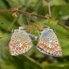 Brown Argus mating, Aricia agestis from Corfu 2558