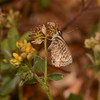 Lang's Short-tailed Blue, Leptotes pirithous from Corfu 2465