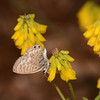 Lang's Short-tailed Blue, Leptotes pirithous from Corfu 2470