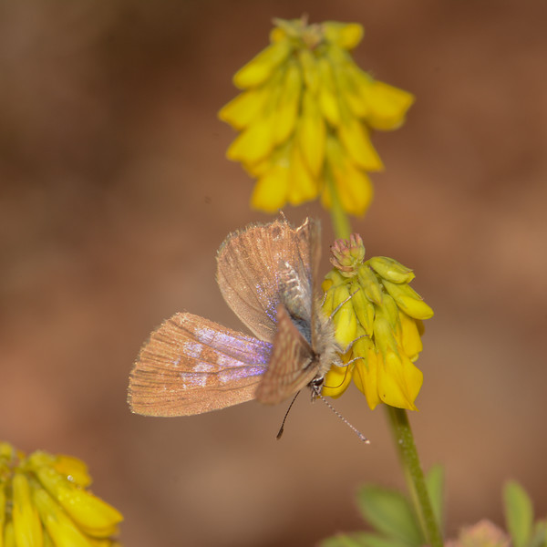 Lang's Short-tailed Blue, Leptotes pirithous from Corfu 2473