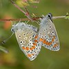 Brown Argus mating, Aricia agestis from Corfu 2561
